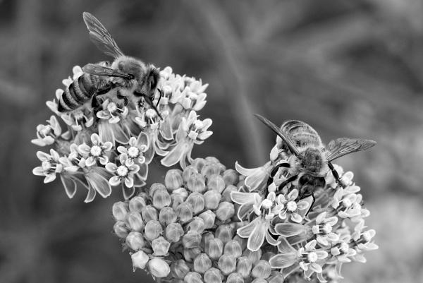 Bees on Milkweed by DPW