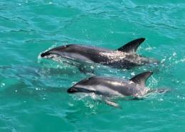 Dolphin Watch - NZ (III)