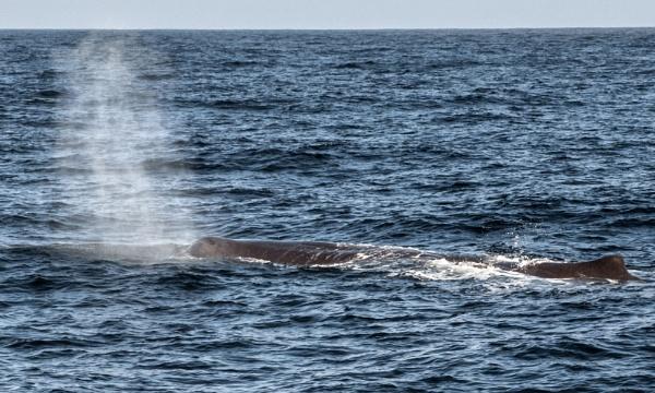 Sperm Whale - NZ (I) by barryyoungnz