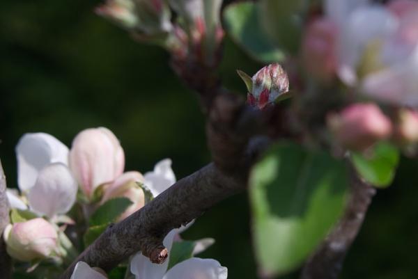 Apple tree bud by AndrewThompson