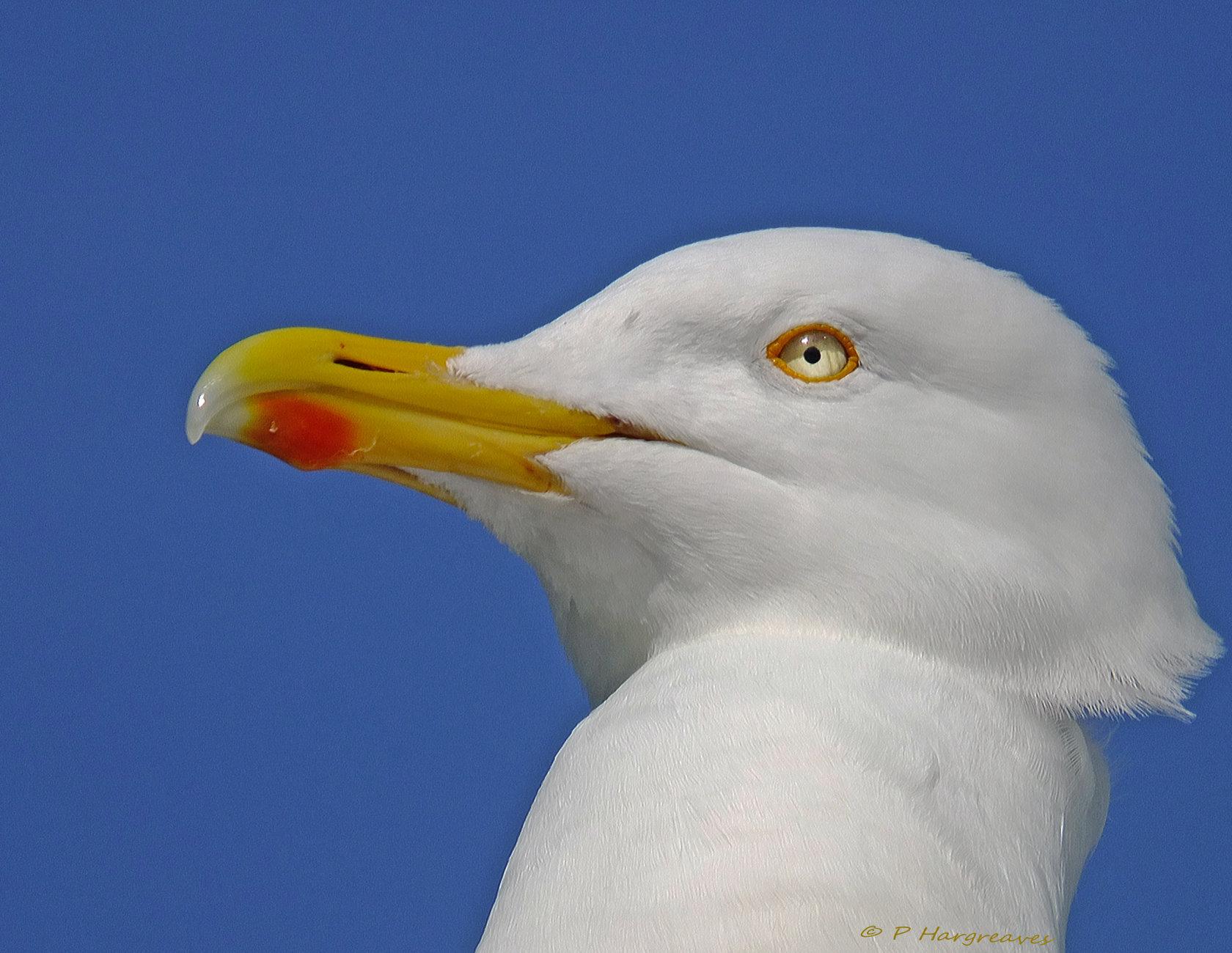 profile of a gull