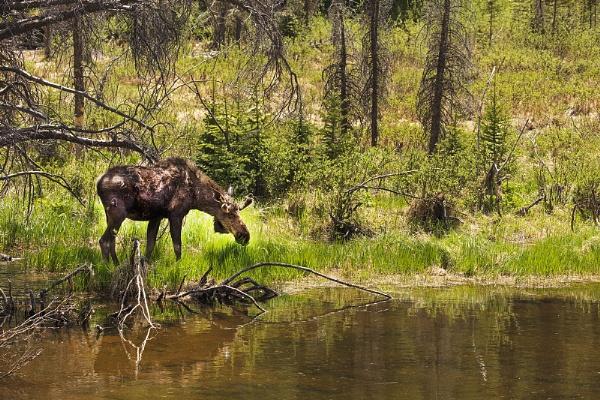Moose & Surroundings near Denver Colorado USA by VincentChristopher