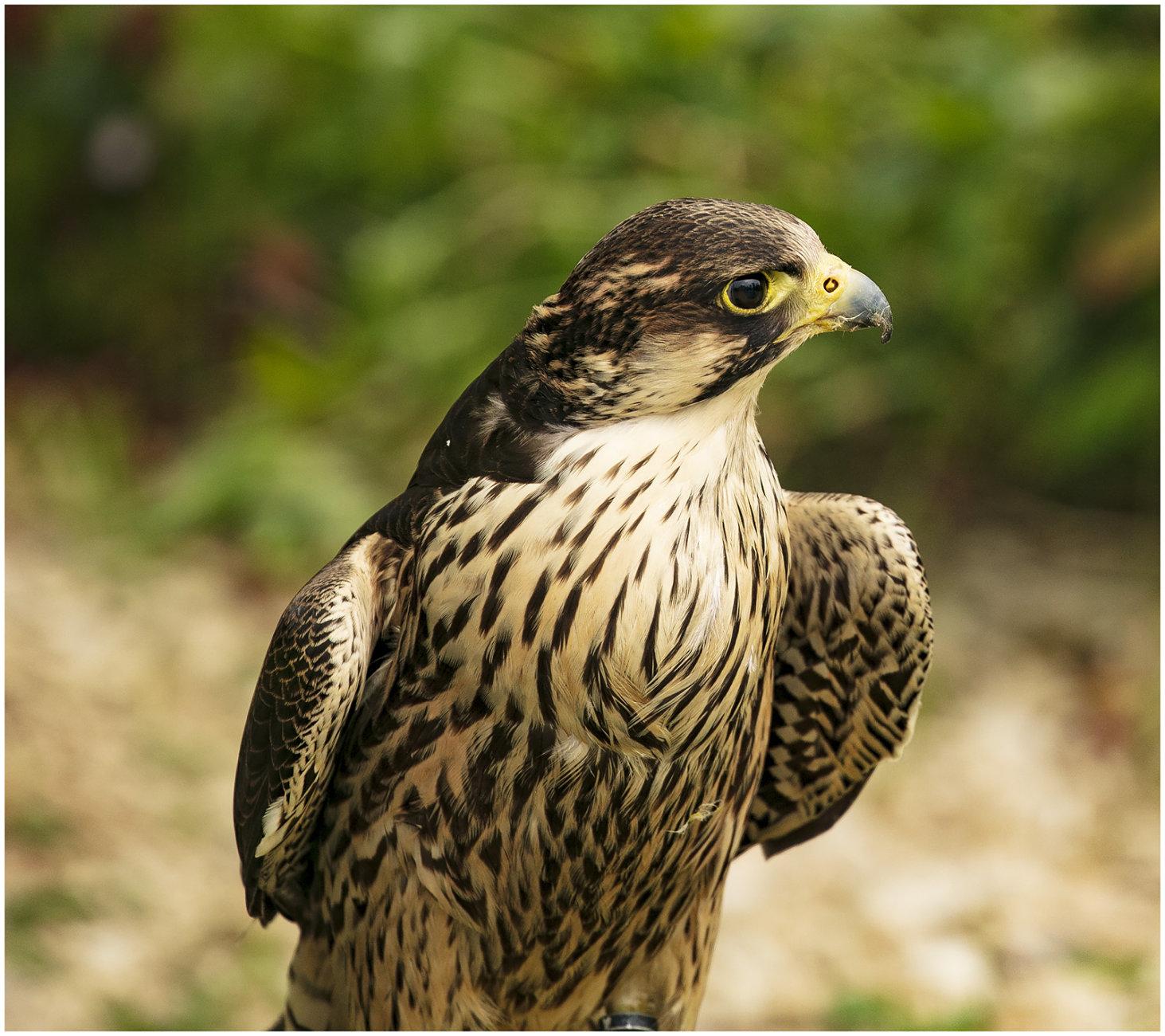 Birds of Prey - Photography Weekend UK