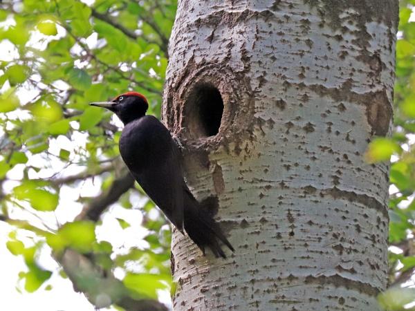 Black Woodpecker by GPMASS