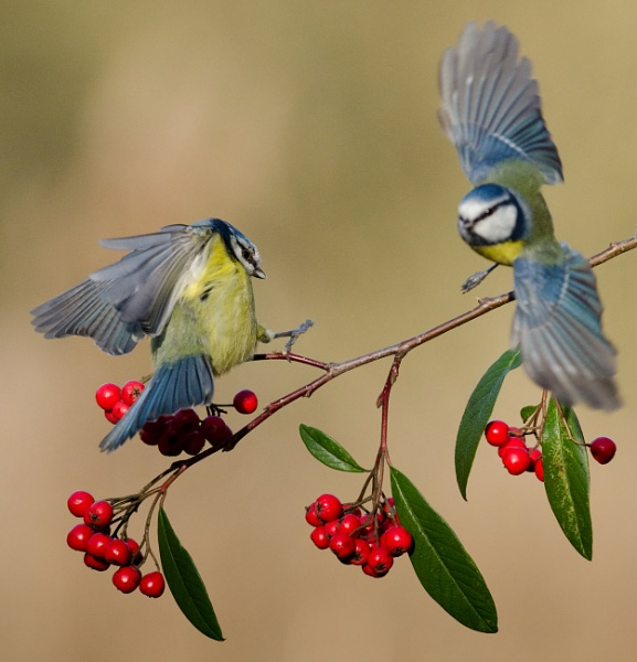 Blue tit on red berries by nicholl