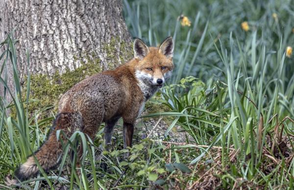 Foxy Eyes. by AnnetteK