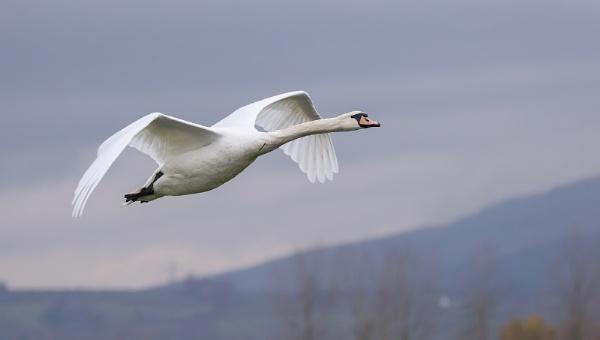 Mute Swan by royd63uk