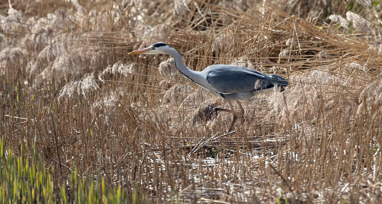 Grey Heron....Ardea Cinerea