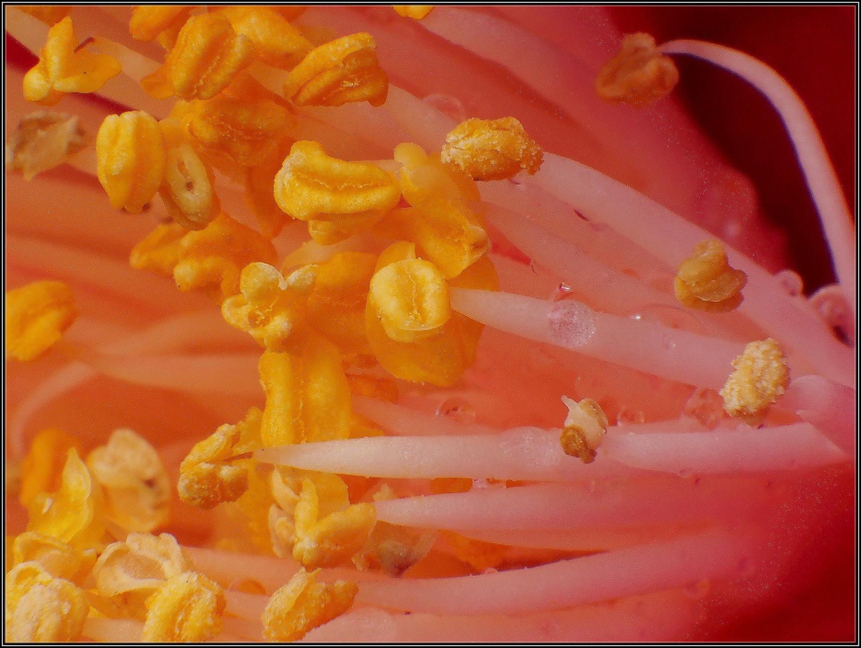 Camellia Pollen heads Macro