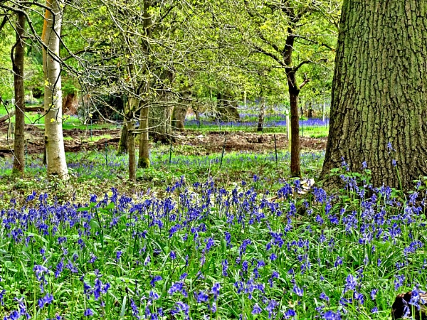 Spring Bluebells by Leon88