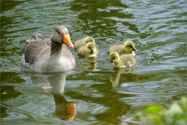 Greylag Family by photographerjoe