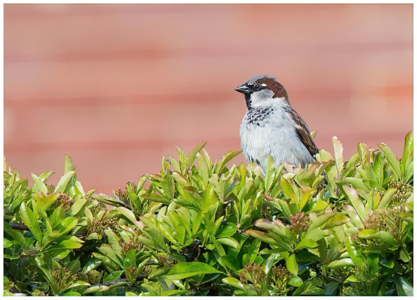 Male house sparrow by davidgibson