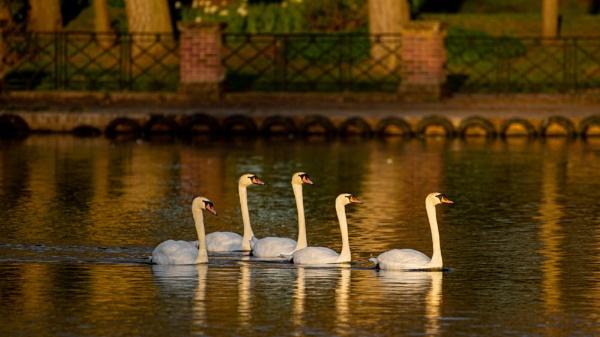 Five Swans by chensuriashi
