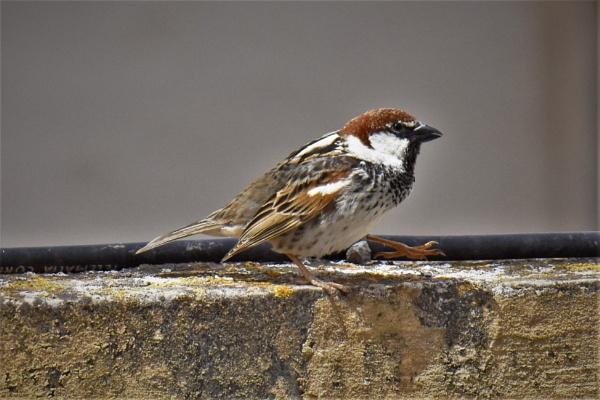 Male House Sparrow by KingArthur