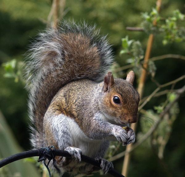 Grey squirrel by oldgreyheron