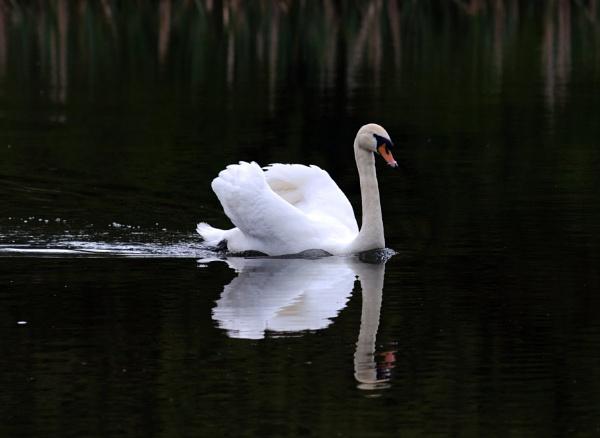 Mute swan by oldgreyheron