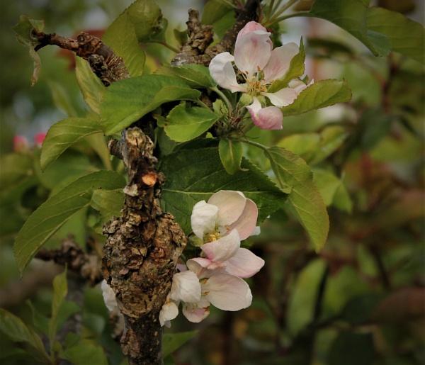 The old apple tree by helenlinda