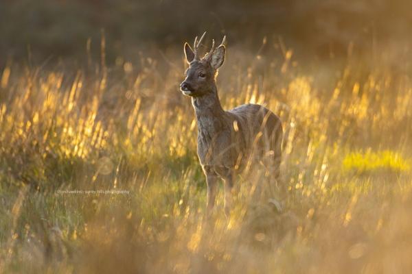 Roe Buck by SurreyHillsMan