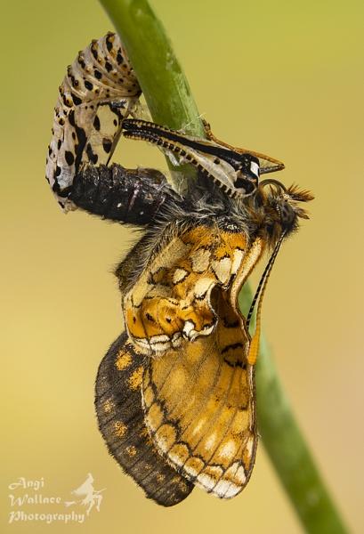 Marsh fritillary emerging from pupae by Angi_Wallace