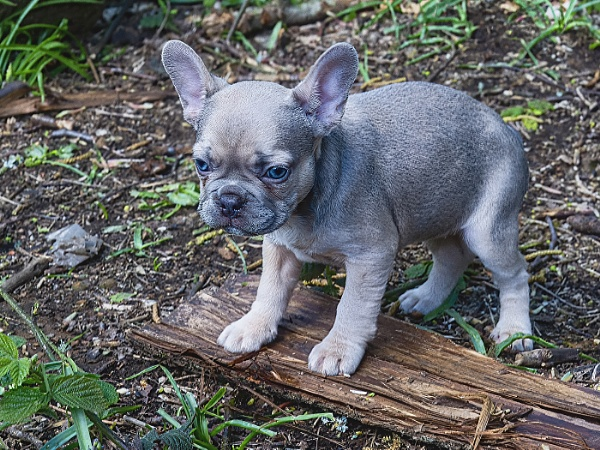 French Bull Terrier at 12 weeks old by ugly