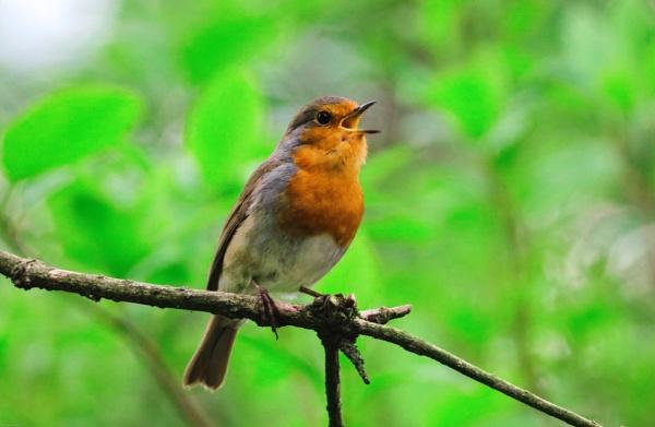 Robin In Song by kelvin7