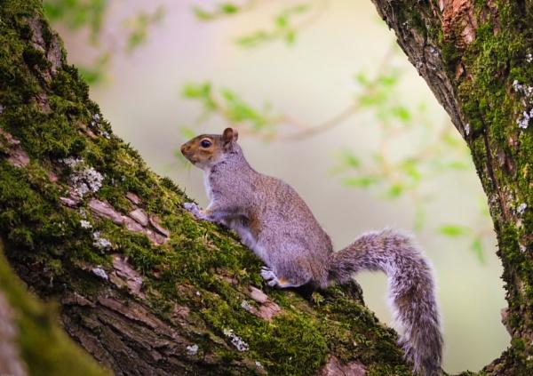 Squirrel by kelvin7