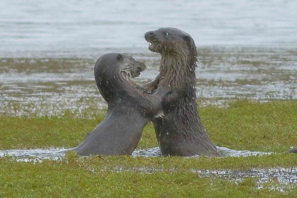Otter Fisticuffs... by TerryMcK