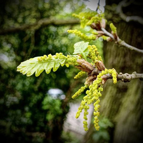Oak Flowers by nclark