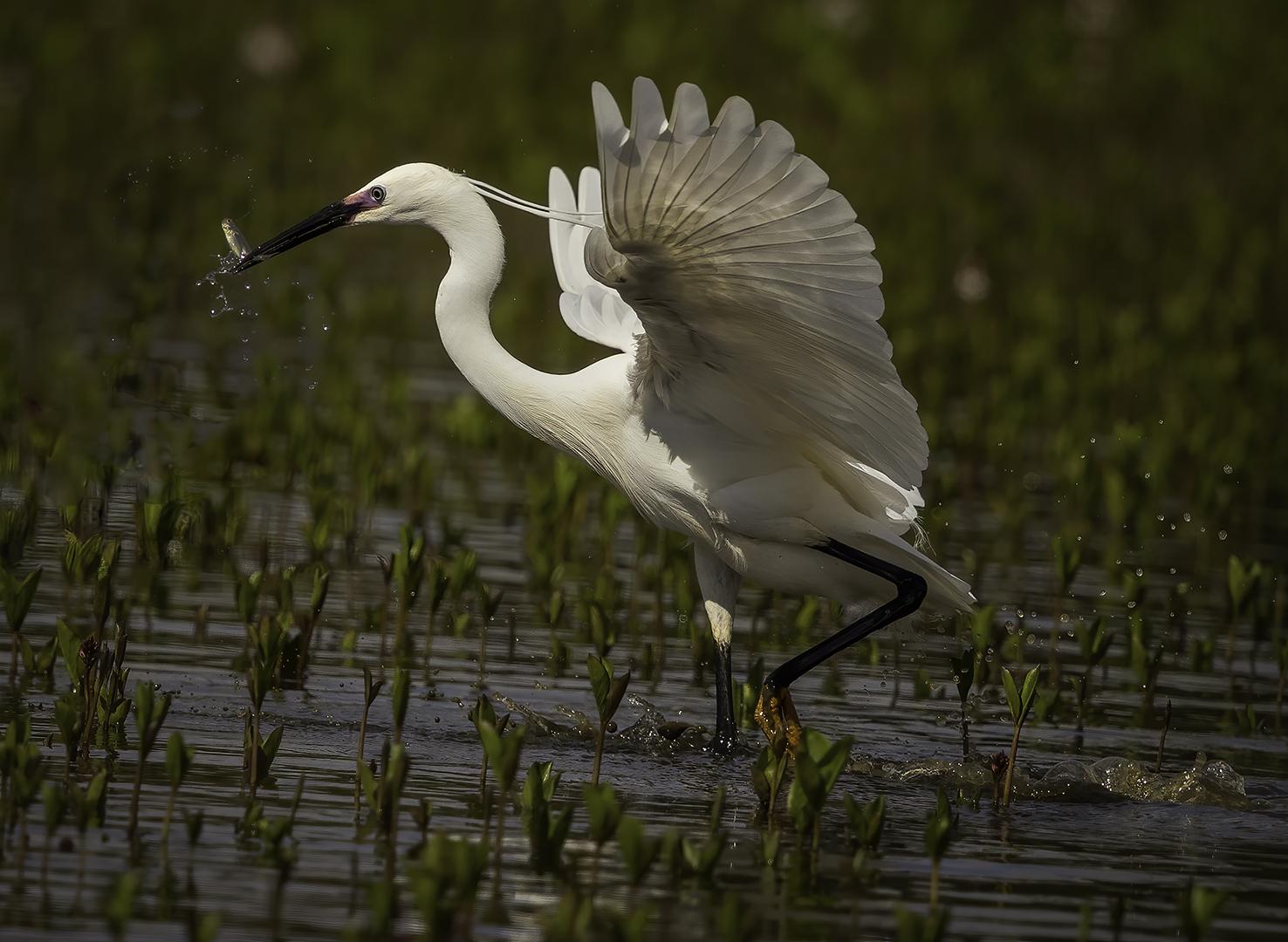 Egret take off