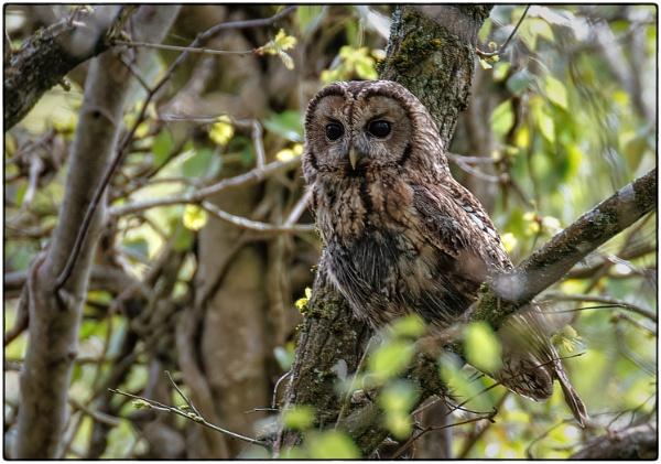 Tawny Owl by mjparmy