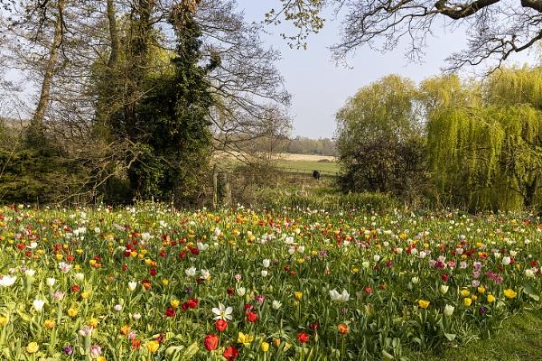 Tulip Festival by Lillian