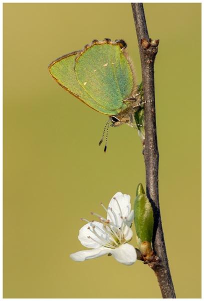 Green Hairstreak - Callophrys rubi. by NigelKiteley