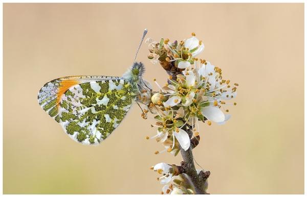 orange Tip.- Anthocharis cardamines. by NigelKiteley