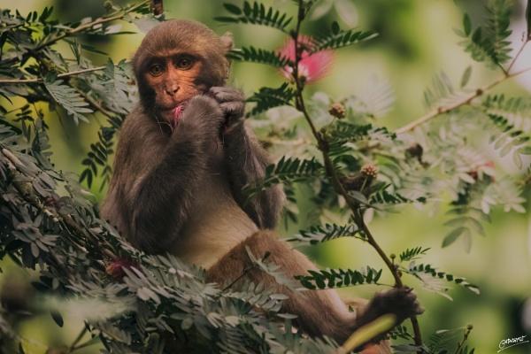Macaque... by clicknimagine