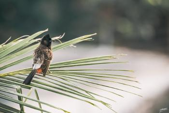 Asia's Red-Vented Bulbul...