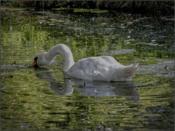 Swan lake by PhilT2
