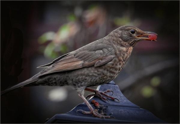 Female Blackbird (5) by PhilT2