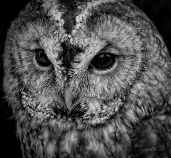 Tawny Owl by PhilT2