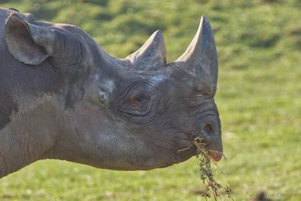 Black Rhino by Alan_Baseley