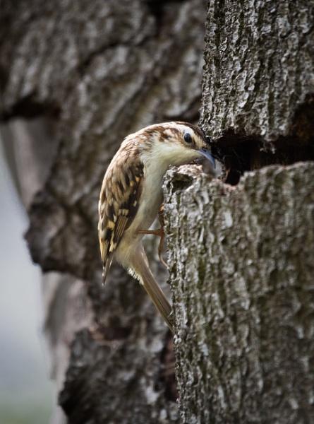Treecreeper at the Nest by jasonrwl