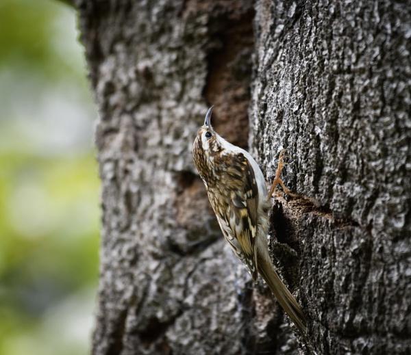 Treecreeper by jasonrwl