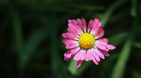 Pink Daisy by mammarazzi