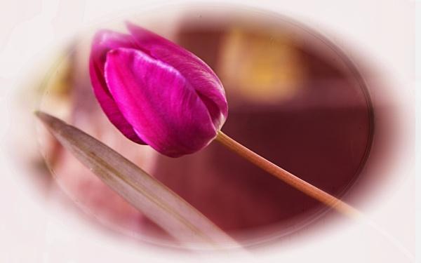 Framed Tulip by Irishkate