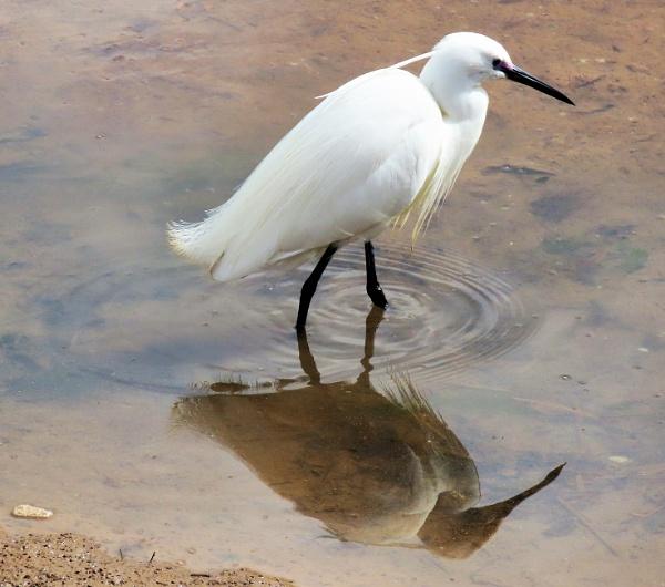 Egret by JanOByrne