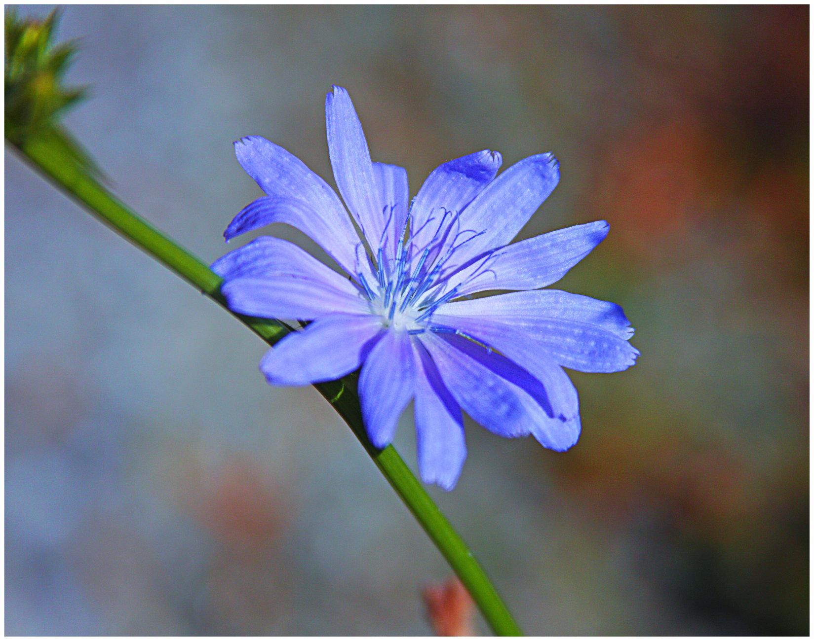 Chickory (Chicorium intybus)  (best viewed large)