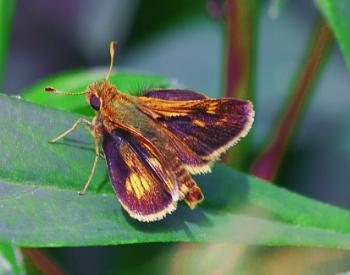 A Skipper Butterfly (Atalopedes campestris)  (best viewed large)