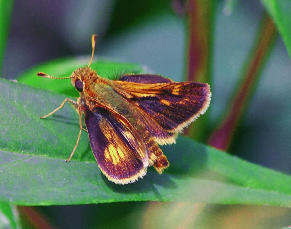 A Skipper Butterfly (Atalopedes campestris)  (best viewed large) by gconant