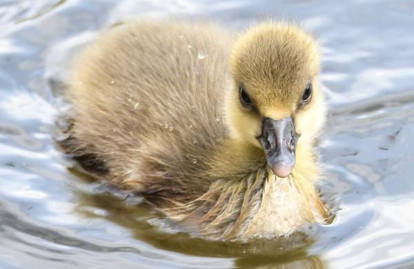 Greylag gosling by Bryan_Marshall