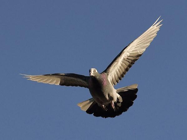 Pigeon by nealie