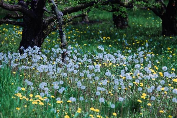 Dandelion field by manicam